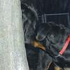 HARLEY 9great dane), EUBIE 9 rottweiler pup)