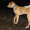 MAX (maxx, 4 month ridgeback) 2.