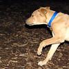 MAX (maxx, 4 month ridgeback) 3