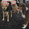 MADDIE (indiana stockdog), BAXTER (aussie pup)