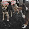 MADDIE (indiana stockdog), & BAXTER (aussie pup)