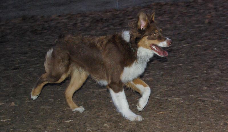 BAXTER (australian shepherd)