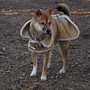 FOXI (coat) 2.