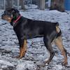EUBIE (rottweilier pup) 2