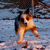 Maia or Maverick aussie pups