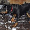 EUBIE (rottweilier pup) 3