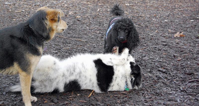 MARLEY (boy puP, Jet, Maddie