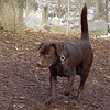 CHIEF (chocolate lab pup) 8