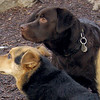CHIEF (chocolate lab pup) & Maddie 7