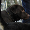 CHIEF (chocolate lab pup) 4