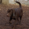 CHIEF (chocolate lab pup) 6