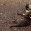 CHIEF (chocolate lab pup) & Maddie 16