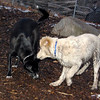 BARNEY (muddy puppy) & BLACKJACK