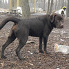 CHIEF (chocolate lab pup) 10