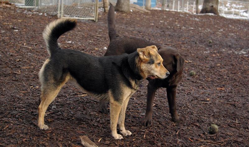 MADDIE, CHIEF (lab pup)