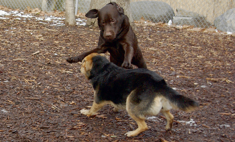 CHIEF (chocolate lab pup) & Maddie 14