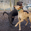 CHIEF (chocolate lab pup) & buffy