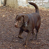 CHIEF (chocolate lab pup) 9