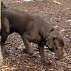 CHIEF (chocolate lab pup) 7