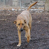 BUFFY (ridgeback mix)