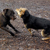 CHIEF (chocolate lab pup) & Maddie 4