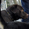 CHIEF (chocolate lab pup) 5