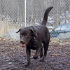 CHIEF (chocolate lab pup) 3