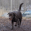 CHIEF (chocolate lab pup) 2