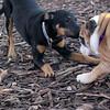 DIVA (puppy) & Priness (bulldog puppy) 2.