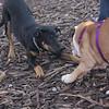 DIVA (puppy) & Priness (bulldog puppy)