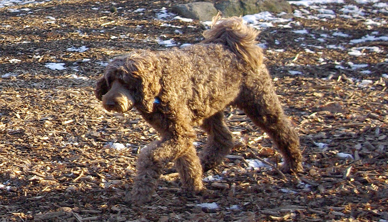 Labradoodle From Australia