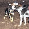 DIVA (puppy) & ruby (coonhound)