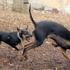 DIVA (puppy), REX (doberman, hound) 7