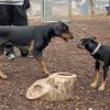 DIVA (puppy), REX (doberman, hound)
