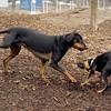 DIVA (puppy), REX (doberman, hound) 2