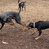 DIVA (puppy), REX (doberman, hound) 3
