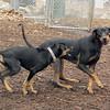 DIVA (puppy), REX (doberman, hound) 6
