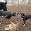 DIVA (puppy), REX (doberman, hound) 5