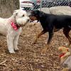 BUCCA (wheaton), Rex (hound doberman) 2