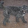 DORA (portuguese water dog) 1.