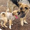DOLCE (pup), KEISAR (shepherd pup)