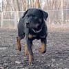 EUBIE (rottweiler  pup) 7