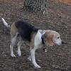 CARLEY (beagle, 11 yr.)