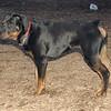 EUBIE (rottweiler  pup) 4