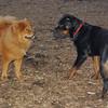 EUBIE (rottweiler  pup), MIA (chow) 10