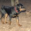 EUBIE (rottweiler  pup) 5