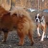 BUBBA (boxer pup) & Mia (chow)