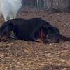 EUBIE (rottweiler  pup) 2