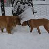 zim,  max ridgeback pup