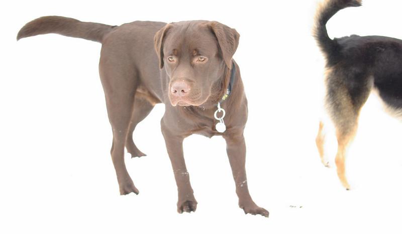 CHIEF (chocolate lab pup)